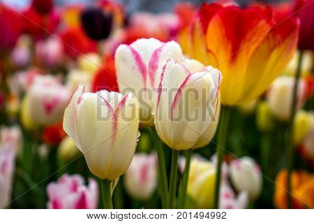 Colourfulwhite Tulip Flowers With Beautiful Background On A Bright Summer Day With Blurred Backgroun