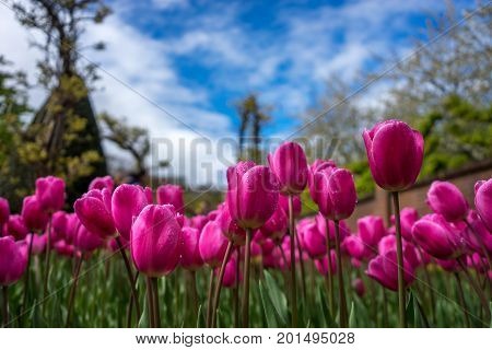 Colourful Tulip Flowers With Beautiful Background On A Bright Summer Day
