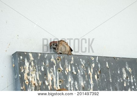 Sparrow bird is homeless droppings on wooden boards