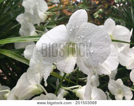 Dendrobium Stefanie Sun - pure white hybrid orchid flower