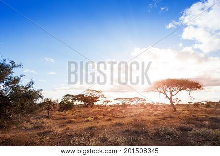 Landscapes of dry and arid African savannah with acacia trees