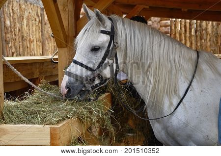 transport, horse, mane, animal, nobility, noble animal, white, stall