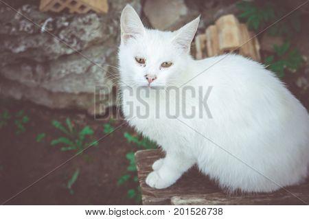 Portrait of a cute white cat close up photo.