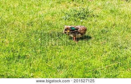 Wild duck on the green grass in summer