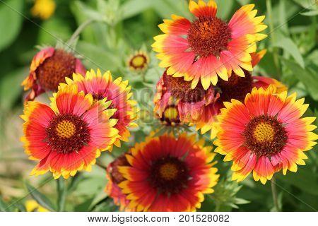 Common gaillardia or blanketflower (Gaillardia aristata) on flowerbed