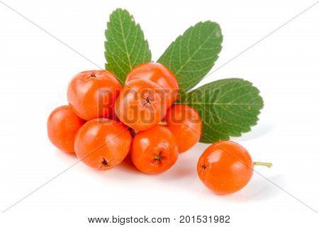 Orange rowan with leaf isolated on white background.