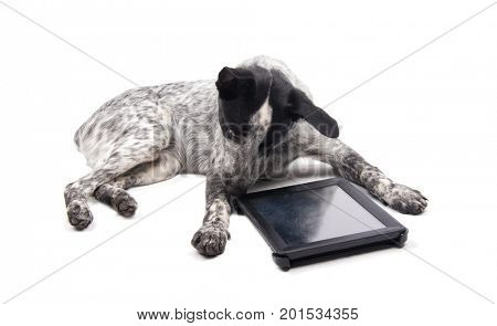 Spotted dog lying down, looking at a computer tablet attentively, on white