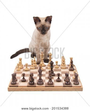 Siamese kitten looking across a chessboard, thinking of his next move, isolated on white