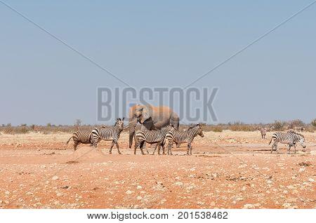 An African elephant Loxodonta africana and muddy Hartmann Mountain Zebras Equus zebra hartmannae at the Rateldraf waterhole in North-Western Namibia