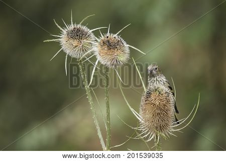 Beautiful Juvenile Siskin Bird Spinus Spinus On Teasels In Forest Landscape Setting