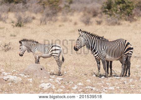 A Hartmann Mountain Zebra mare Equus zebra hartmannae with two foals in North-Western Namibia