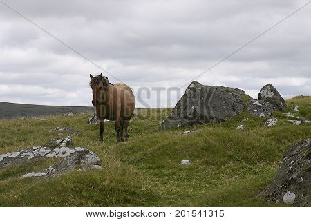 Dartmoor mare standing by granite rock on Dartmoor