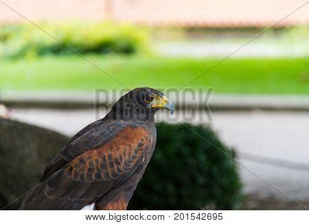 Golden Eagle Bird Of Prey