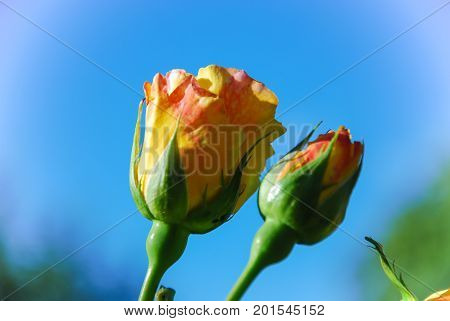 Close up of two peace roses buds by a blue sky