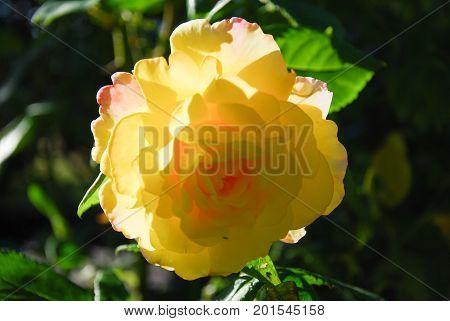 Closeup of a yellow sunlit peace rose