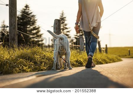 labrador dog and young woman go for a walk by sunset