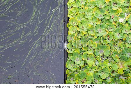 Water Hyacinth Leaves Floating Over Lake