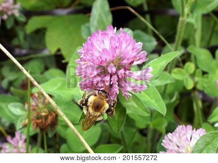 A bee gathers nectar from a red clover flower (Trifolium pratense) in the Hammel Woods Forest Preserve in Shorewood, Illinois, during July.