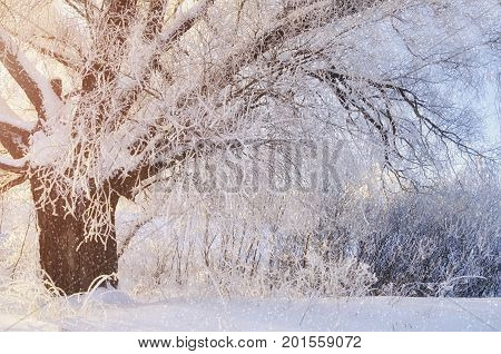Winter landscape with deciduous winter tree in sunset. Winter wonderland tree in cold weather in the snowy winter forest -sunny winter forest scene in early winter morning. Winter tree in the forest