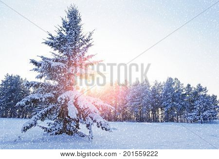 Winter landscape with forest winter snowy fir tree in the winter forest under falling snow in cold evening. Forest winter landscape scene of winter fir tree covered with snow. Sunset winter landscape of winter forest nature