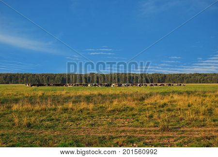 A large herd of cows grazes on a meadow against a blue sky and a green forest