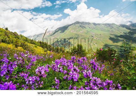 Violet flowers on mountain slopes against the background of mountains and blue sky with clouds
