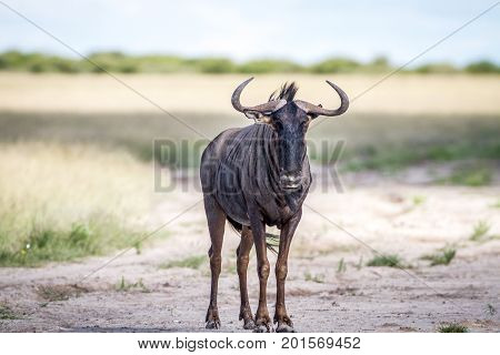 Blue Wildebeest Standing In The Sand.