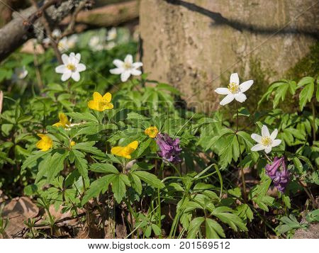 Spring forest in Litovelske pomoravi with blooming Corydalis cava Anemone nemorosa and Anemone ranunculoides flowers Czech Repbublic