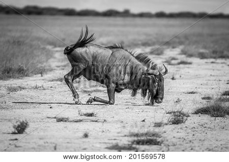Blue Wildebeest Kneeling In The Sand.