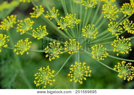 The fennel blossoming. Fennel inflorescence top view. Close up. Macro. Vegetable background horizontally. Anethum. Anethum graveolens. Fructus Anethi graveolens.