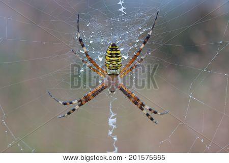 Argiope Bruennichi Spider on a spiderweb with water drops