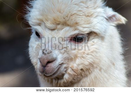 The White alpaca is looking for the mummy