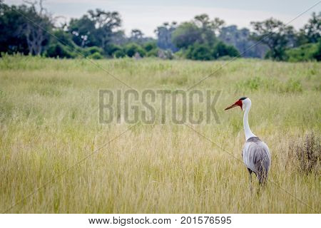 Wattled Crane Standing In The Grass.