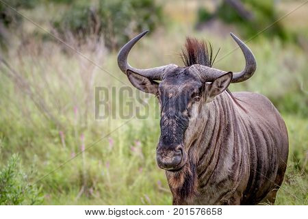 Blue Wildebeest Starring At The Camera.