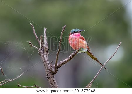 Southern Carmine Bee-eater Sitting On A Branch.
