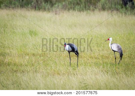 Two Wattled Cranes Standing In The Grass.