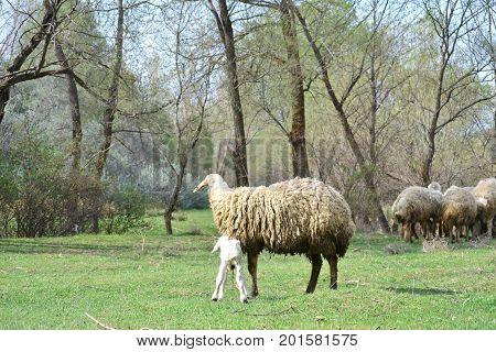 Muslims sacrifice sheep and cows on sacrifice feast