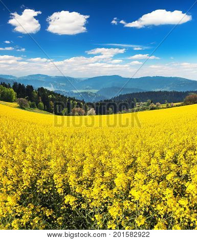 Field of rapeseed canola or colza in Latin Brassica Napus with beautiful cloudy sky rape seed is plant for green energy and green industry springtime golden flowering field