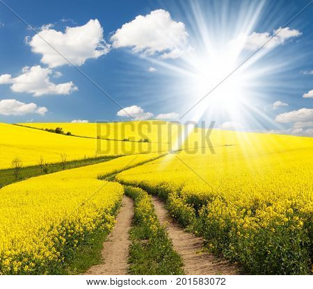 Field of rapeseed canola or colza in Latin Brassica napus with rural road beautiful clouds and sun rape seed is plant for green energy and oil industry springtime golden flowering field