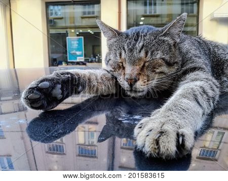Close portrait of adorable street male tabby cat relaxing and sleeping on the roof of a car in the center of Sofia (Bulgaria) during a sunny summer day. Tiger tabby cat. Striped cat. Lovely cat.