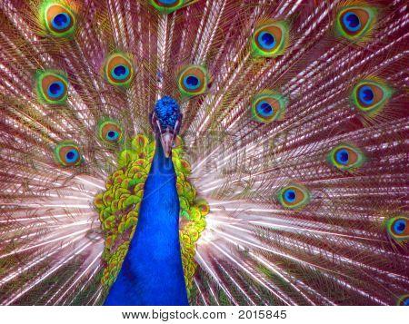 Peacock In Full Display