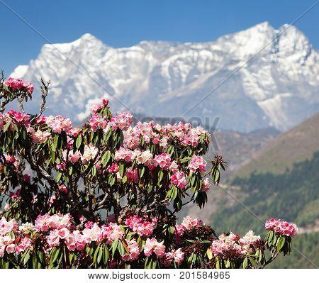 flowering rhododendron tree springtime in himalayan mountains mount Kongde trek to Everest base camp Sagarmatha national park Khumbu valley nepal