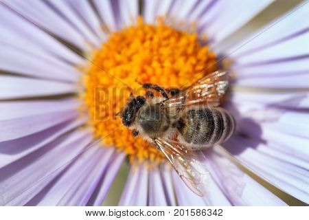 detail of honeybee in Latin Apis Mellifera european or western honey bee sitting on the violet or blue flower