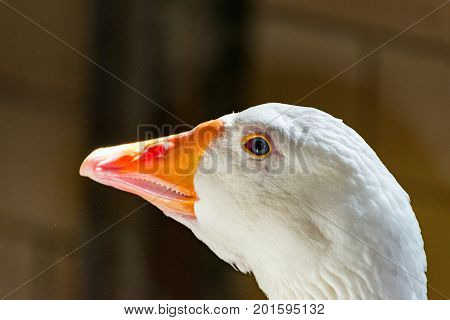 A white goose with pink beak in the zoo