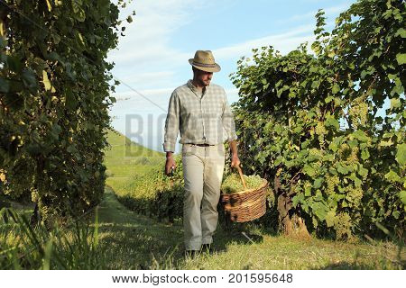 Wine Harvest Worker with wicker basket full of bunches of grapes