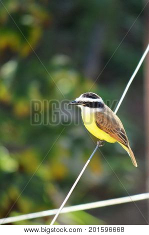Great Kiskadee perched on the wire. Small bird perched on the wire with distant gaze during winter morning in small town of Brazil.