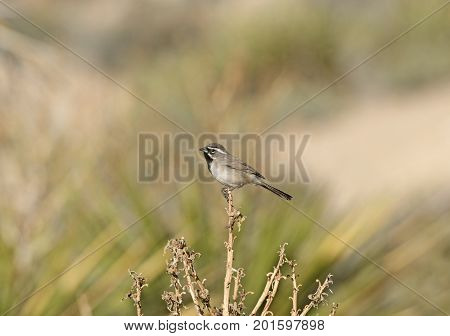 Black Throated Sparrow in the Desert in Joshua Tree National Park in California