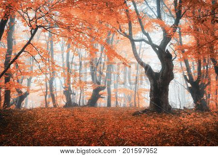 Amazing Scene With Autumn Trees In Fog