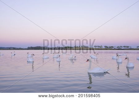 Tranquil scene group of swans swimming in nature lake in morning.swans background with reflection swans are peach and love symbol