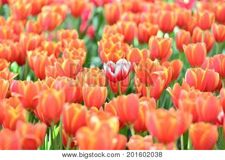 Tulip. Beautiful bouquet of tulips. colorful tulips. tulips in springcolourful tulip with blurred background